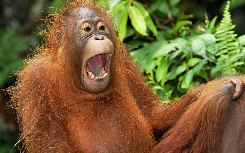 PIC BY THOMAS MARENT / ARDEA / CATERS NEWS - (PICTURED: A juvenile Borneo Orangutan in, Tanjung Puting National Park, Indonesia laughing) - These comical creatures are clearly up FUR a laugh in these sidesplitting images which show a variety of ecstatic animals enjoying a good old chuckle. The hilarious snaps, taken by a whole host of photographers from around the globe, prove life in the jungle is most definitely jolly, as creatures from an orangutan to a elephant seal are pictured mid-laugh. A cheery chimpanzee can be seen sporting a toothy grin as he enjoys life at Chimfunshi Wildlife Orphanage in Zambia. And a pot-bellied pig is clearly tickled pink at his home in Lower Saxony, Germany. In another image an Icelandic horse appears to crack up when he spots a photographers camera, while a chuckling cheetah creases up in Kenya. SEE CATERS COPY